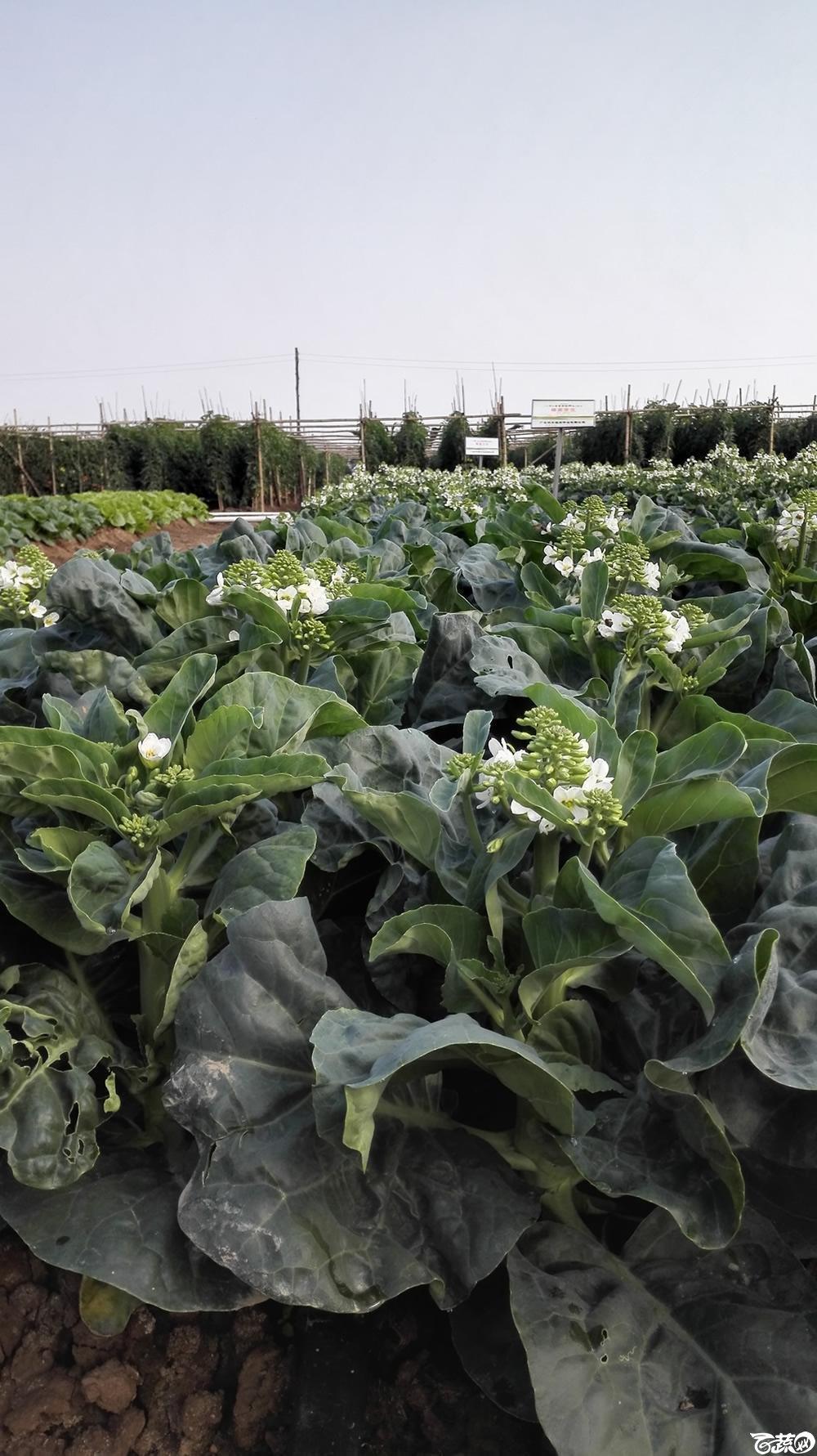 2014年12月10号广州市农科院南沙秋季蔬菜新品种展示会_叶菜_210.jpg