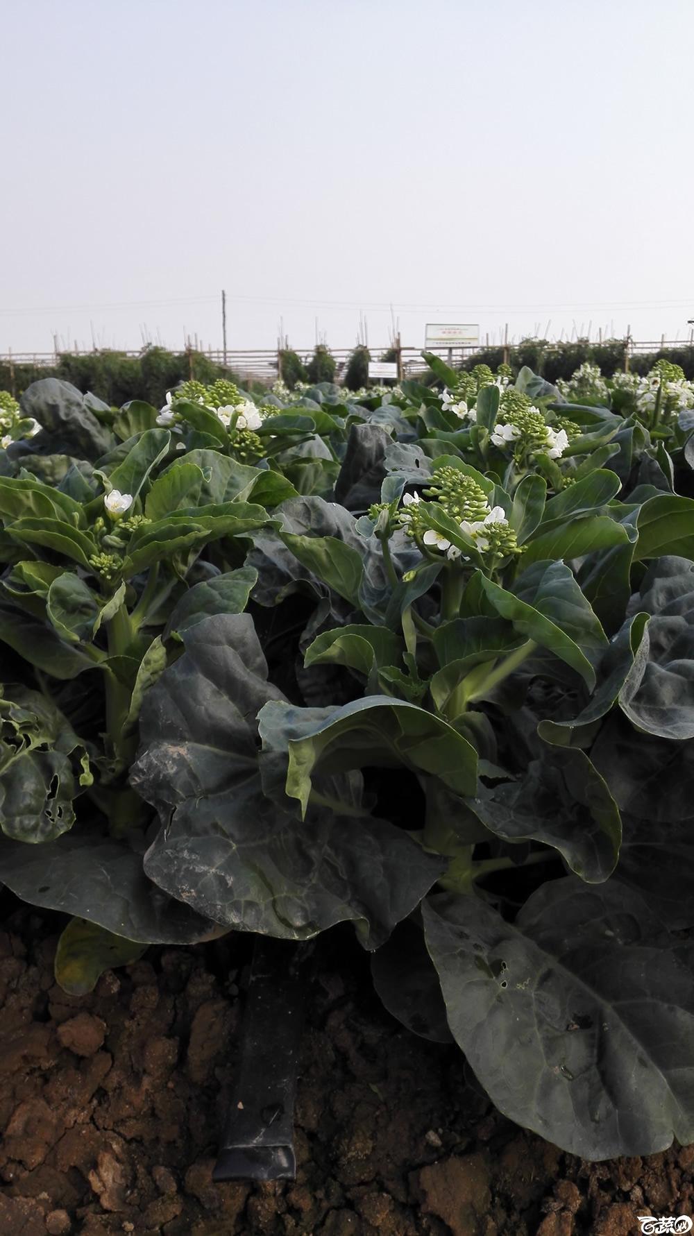 2014年12月10号广州市农科院南沙秋季蔬菜新品种展示会_叶菜_211.jpg