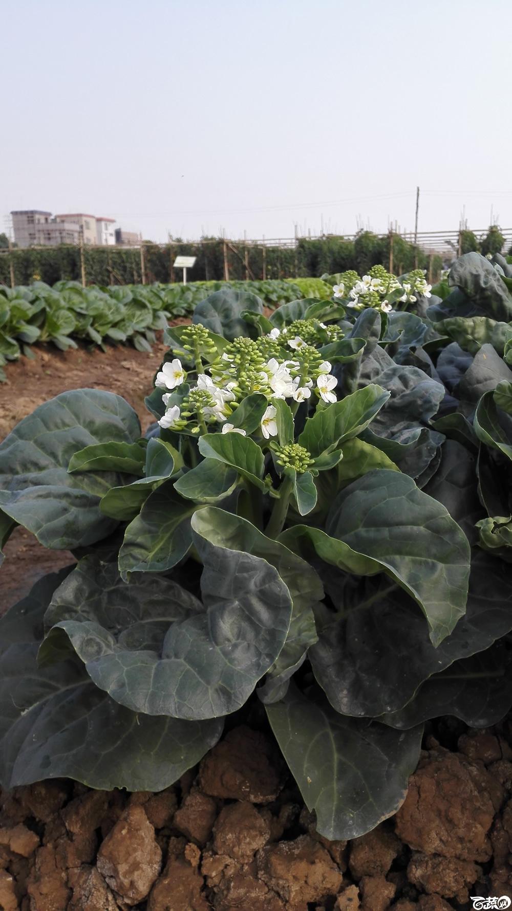 2014年12月10号广州市农科院南沙秋季蔬菜新品种展示会_叶菜_212.jpg