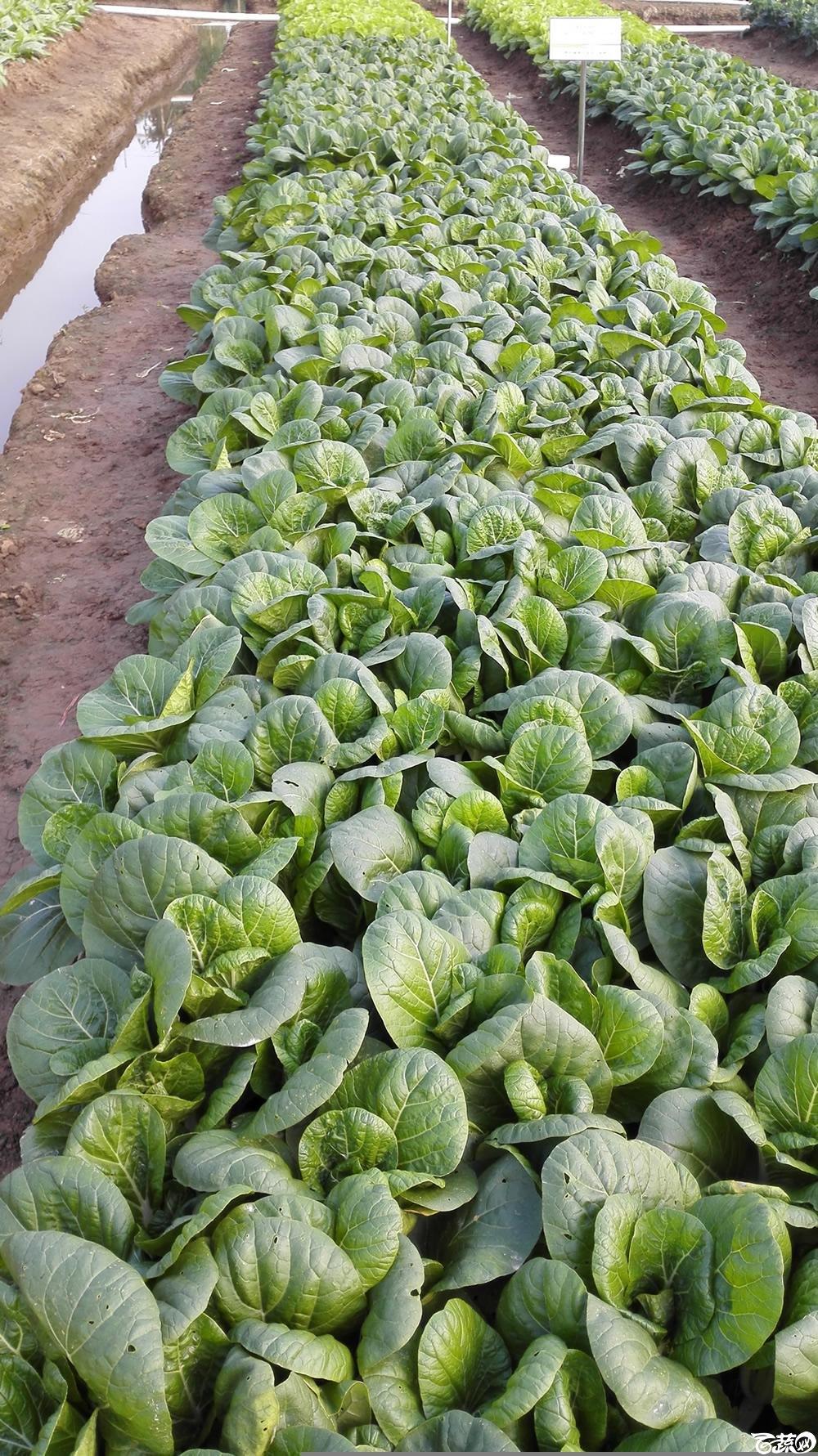 2014年12月10号广州市农科院南沙秋季蔬菜新品种展示会_叶菜_220.jpg