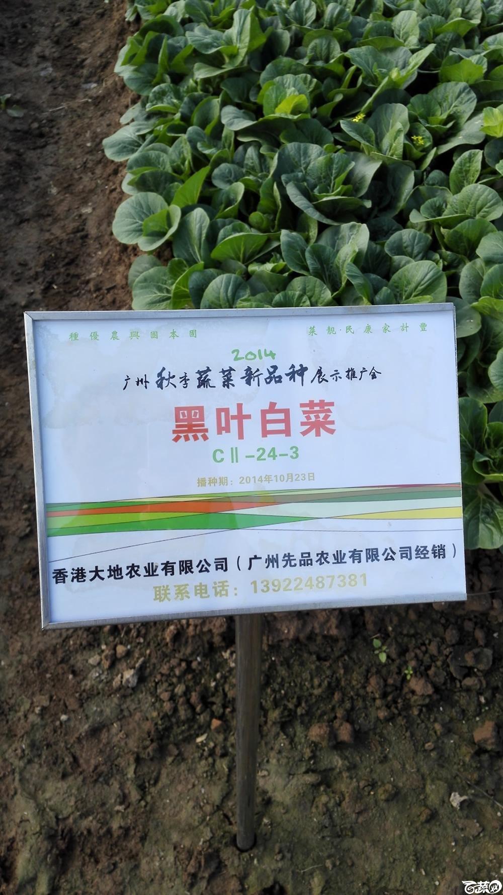 2014年12月10号广州市农科院南沙秋季蔬菜新品种展示会_叶菜_221.jpg