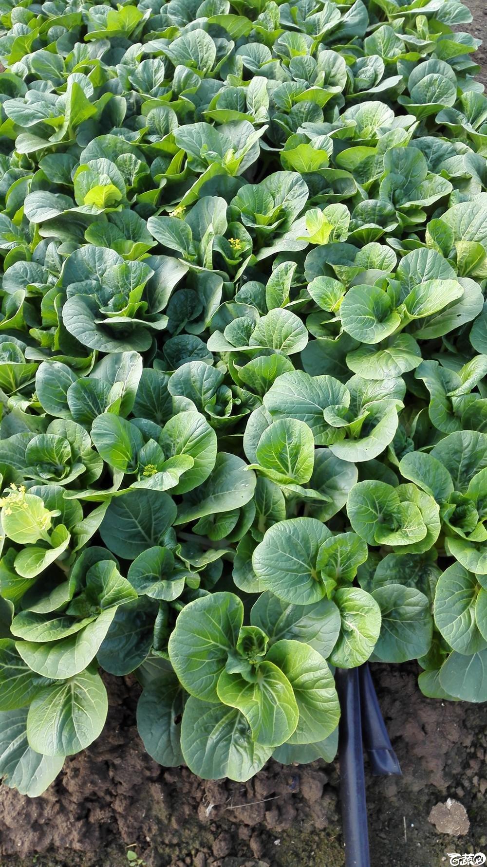 2014年12月10号广州市农科院南沙秋季蔬菜新品种展示会_叶菜_222.jpg
