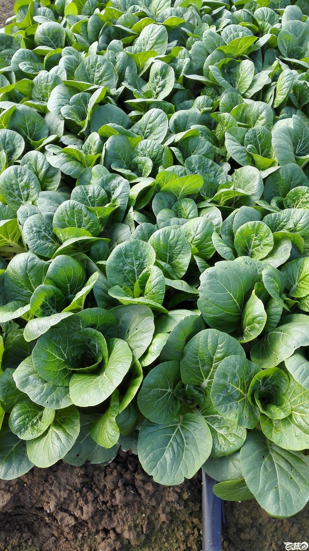 2014年12月10号广州市农科院南沙秋季蔬菜新品种展示会_叶菜_245.jpg