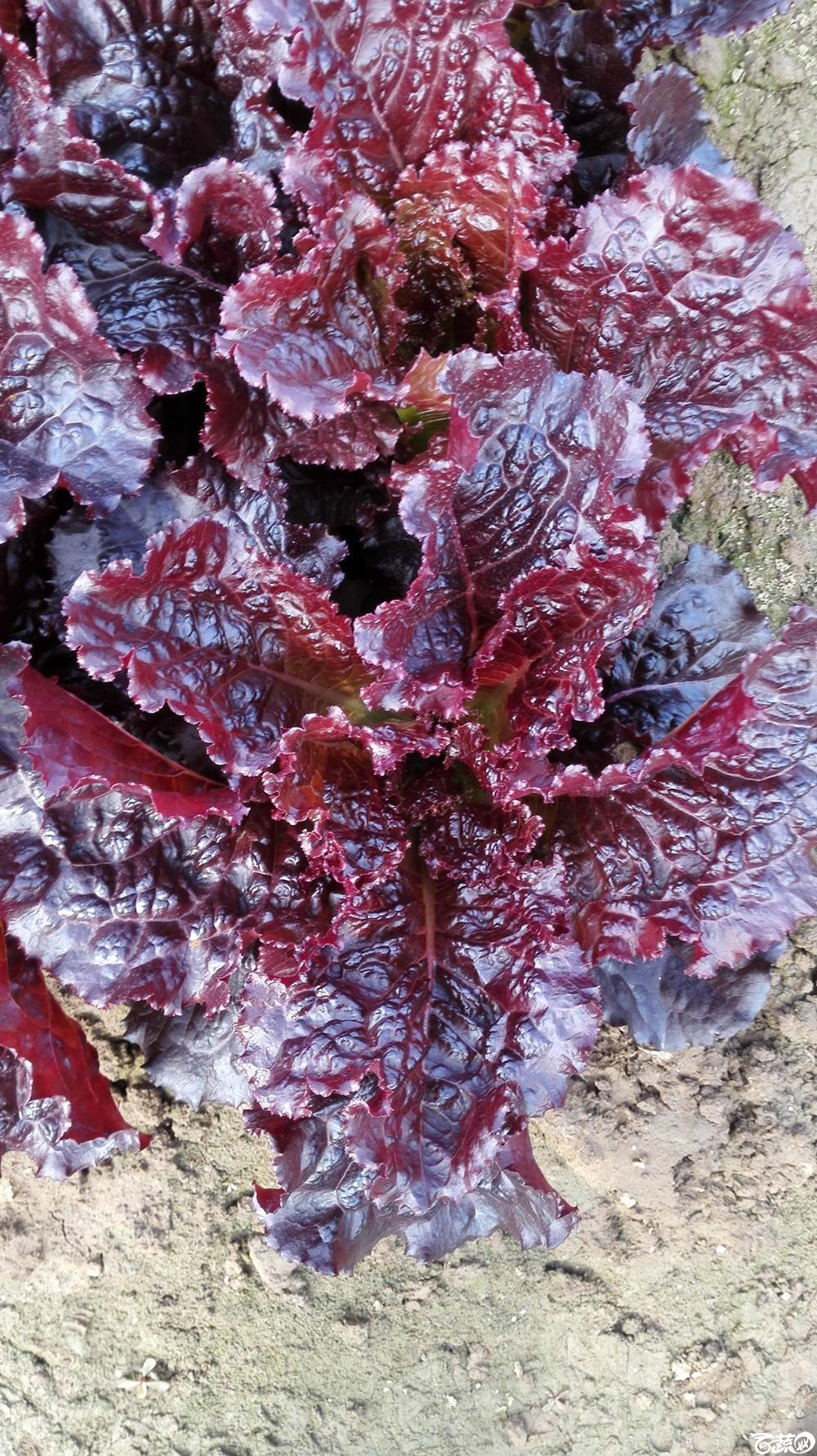 2014年12月10号广州市农科院南沙秋季蔬菜新品种展示会_叶菜_259.jpg