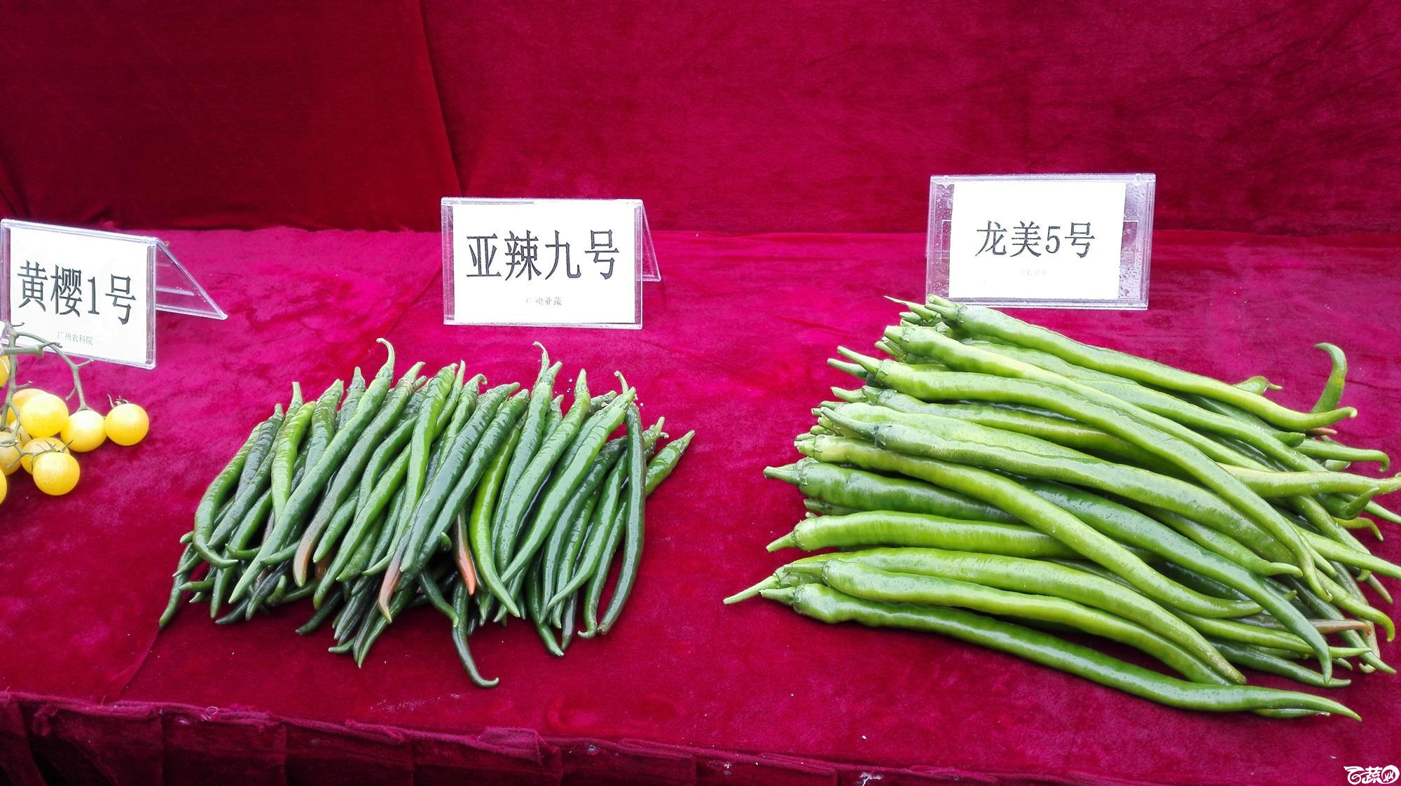 2014年12月8号中山蔬菜新品种展示会_辣椒_003.jpg