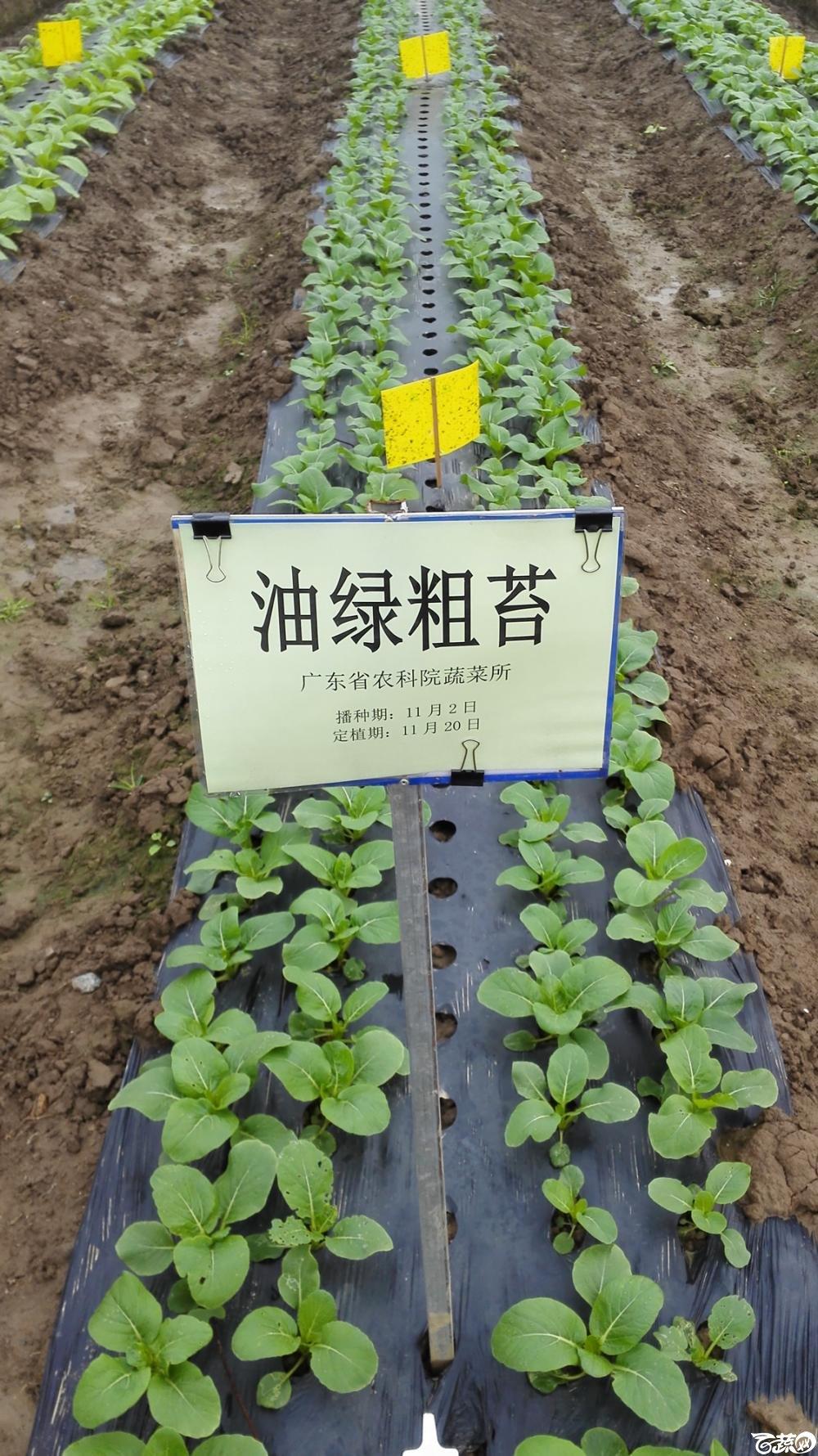 2014年12月8号中山蔬菜新品种展示会_叶菜_008.jpg
