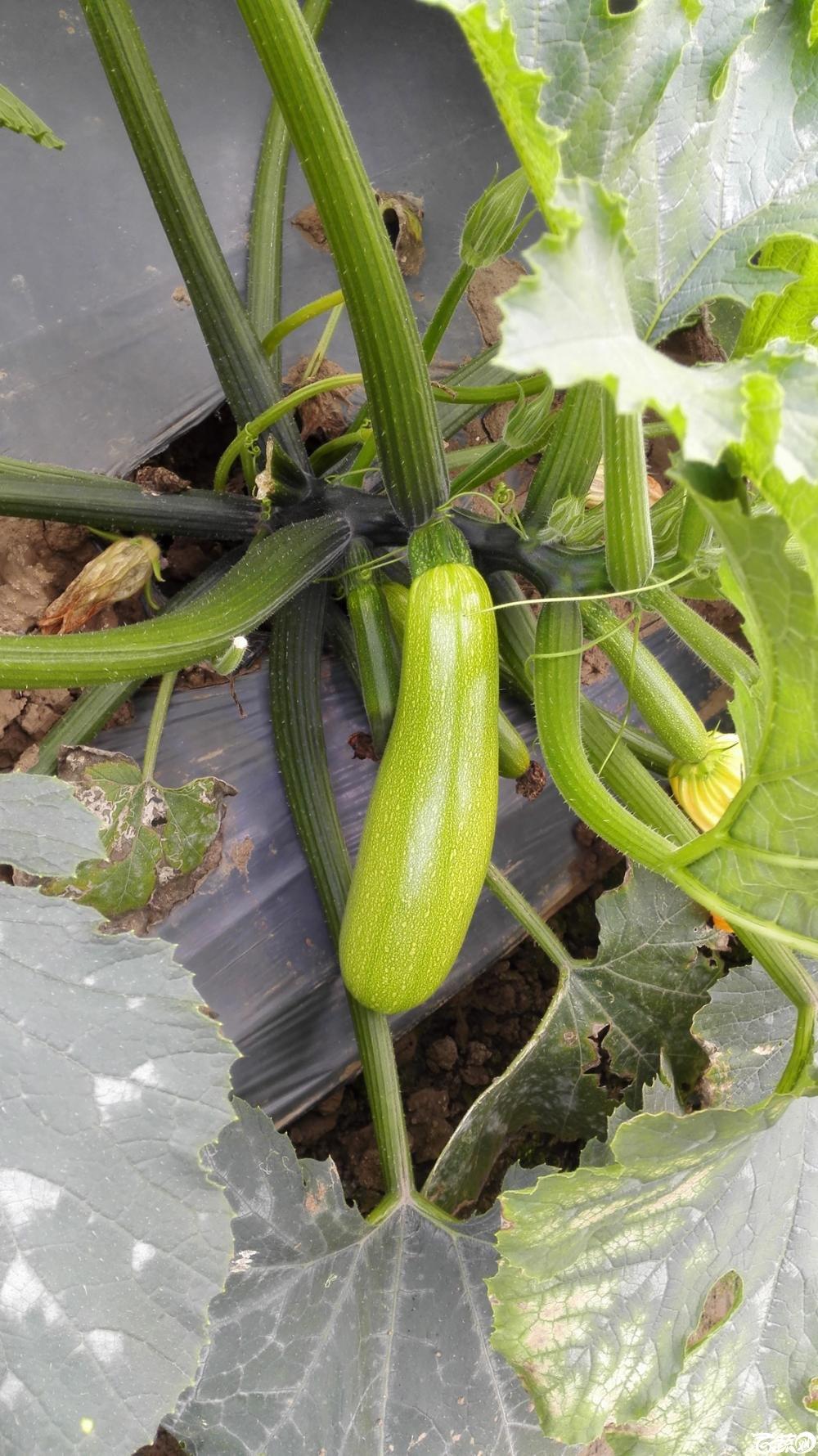 2014年12月8号中山蔬菜新品种展示会_瓜类_014.jpg