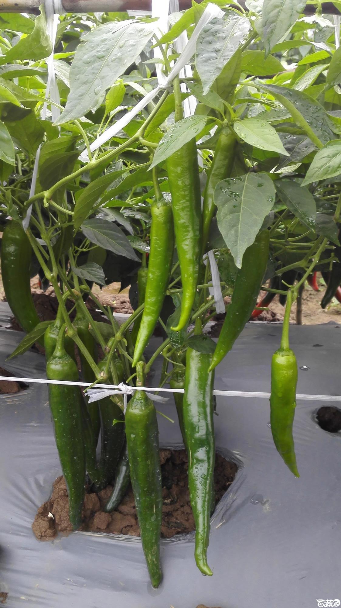 2014年12月8号中山蔬菜新品种展示会_辣椒_015.jpg