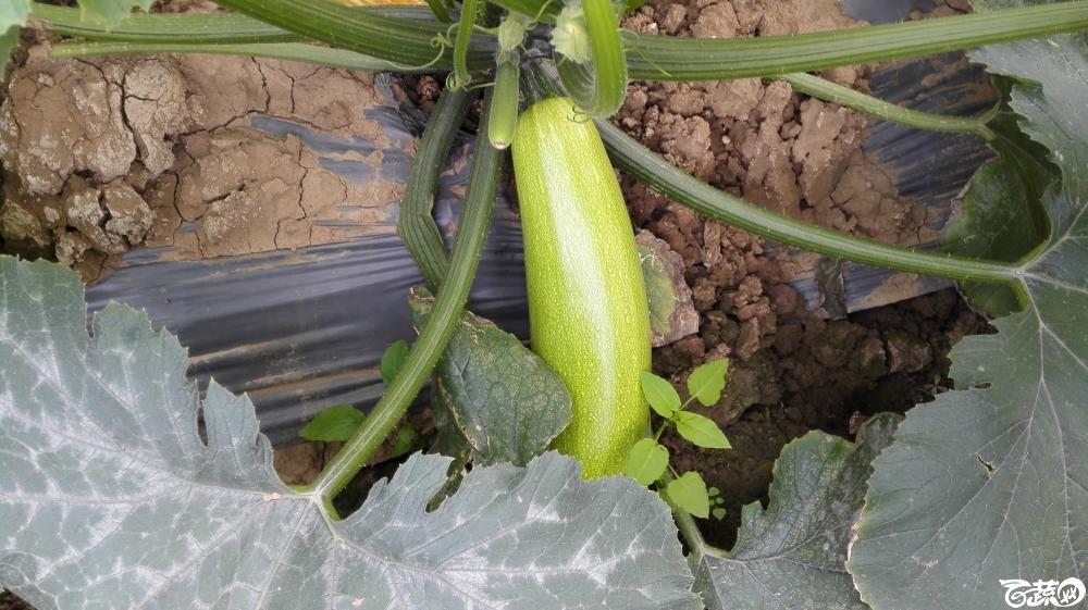 2014年12月8号中山蔬菜新品种展示会_瓜类_016.jpg