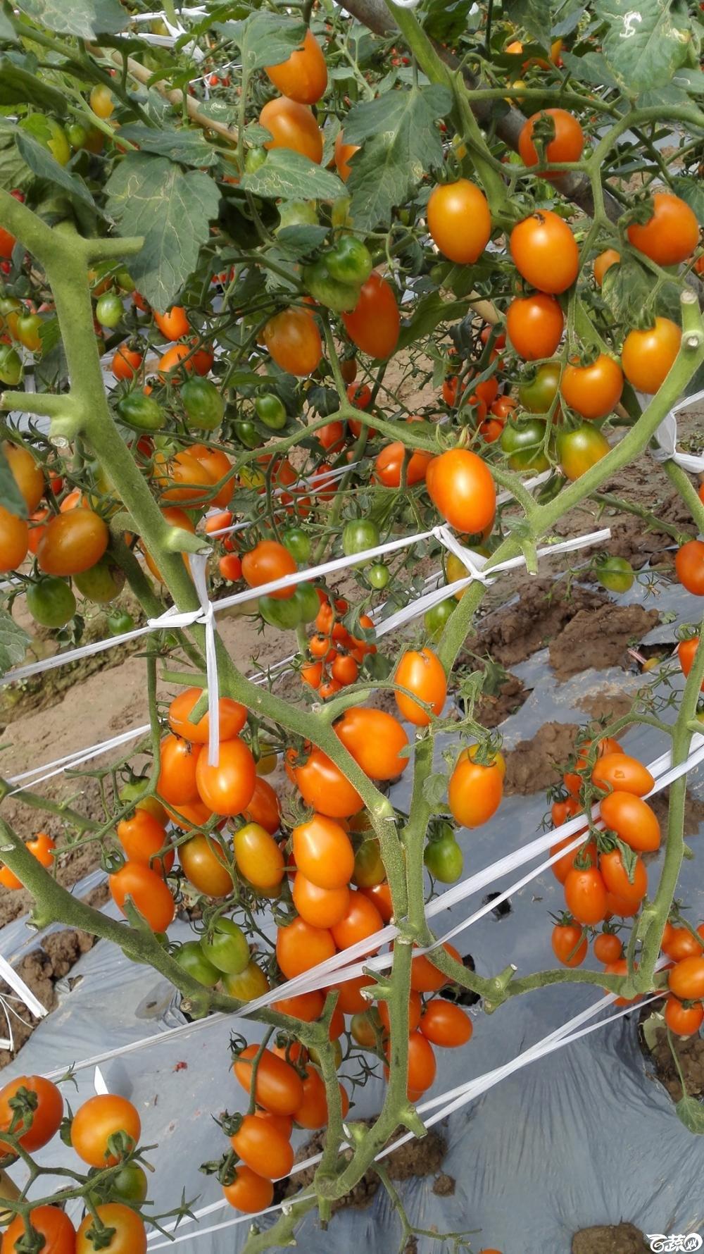 2014年12月8号中山蔬菜新品种展示会_番茄_016.jpg