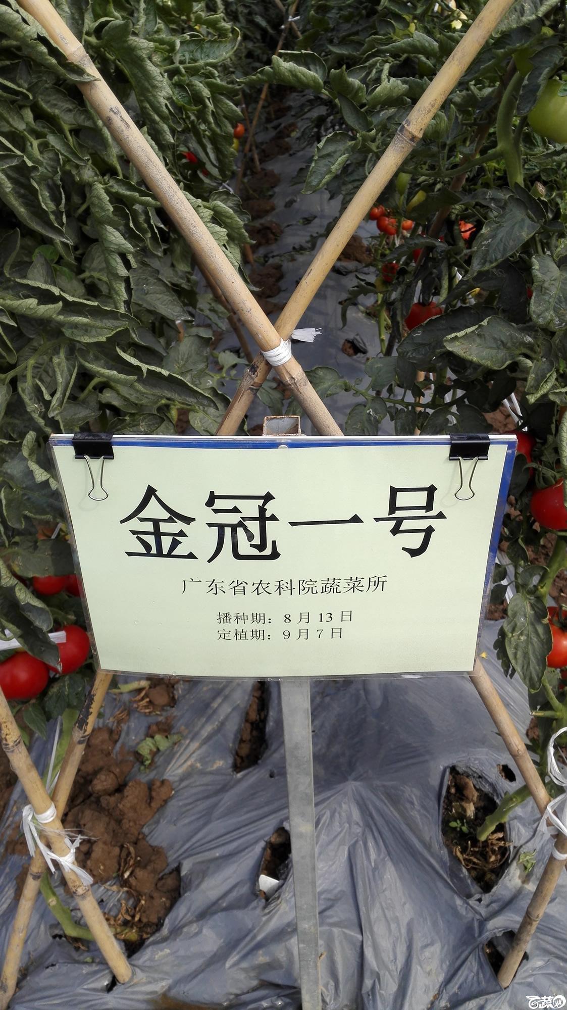 2014年12月8号中山蔬菜新品种展示会_番茄_018.jpg