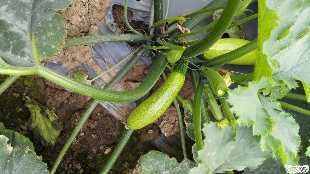 2014年12月8号中山蔬菜新品种展示会_瓜类_018.jpg