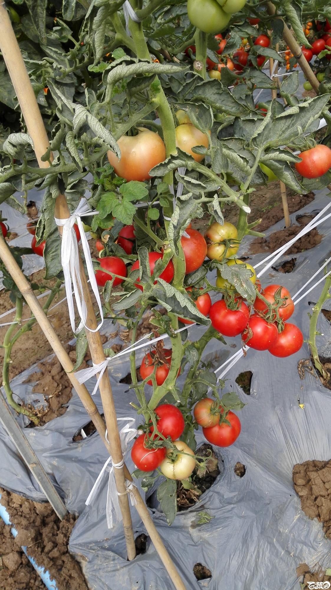 2014年12月8号中山蔬菜新品种展示会_番茄_019.jpg