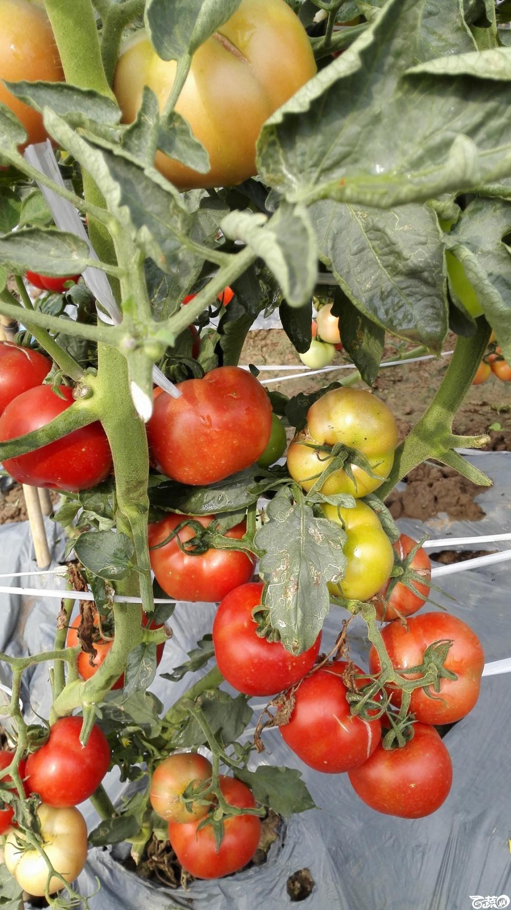 2014年12月8号中山蔬菜新品种展示会_番茄_020.jpg