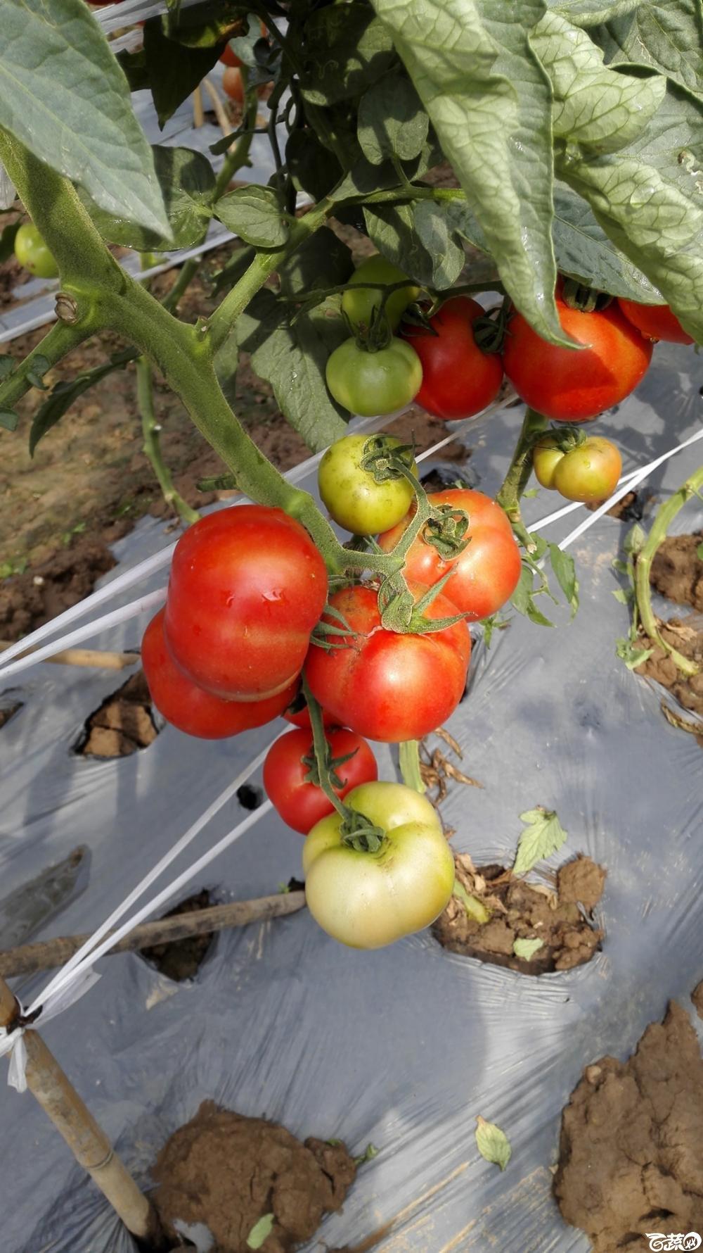 2014年12月8号中山蔬菜新品种展示会_番茄_021.jpg