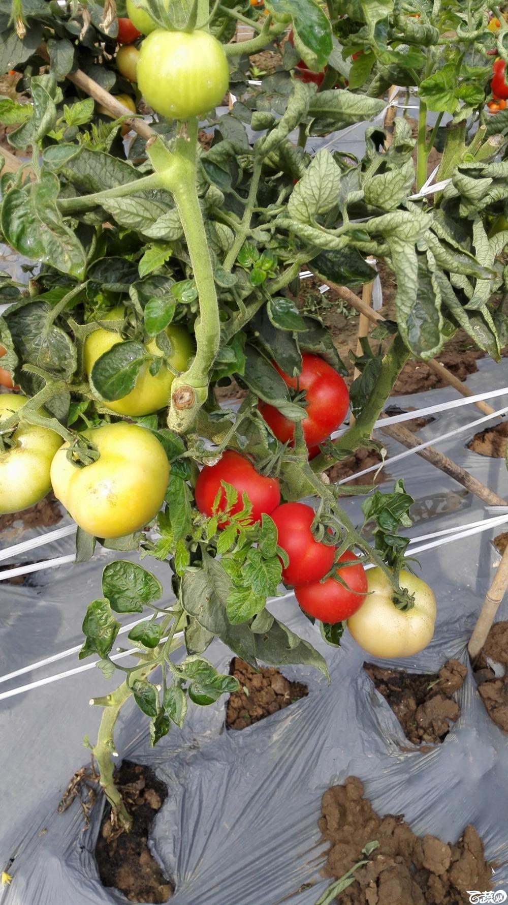 2014年12月8号中山蔬菜新品种展示会_番茄_022.jpg