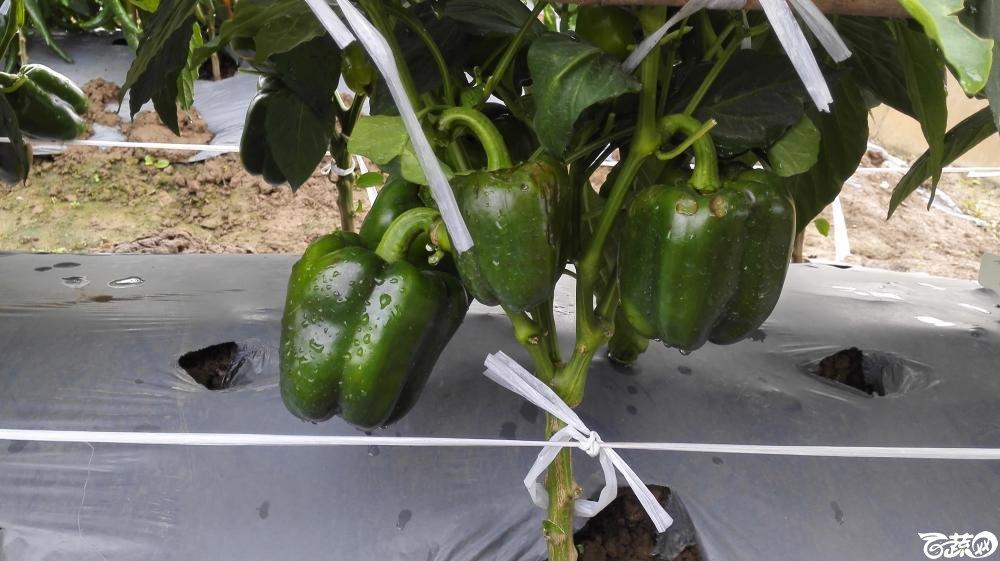 2014年12月8号中山蔬菜新品种展示会_辣椒_024.jpg