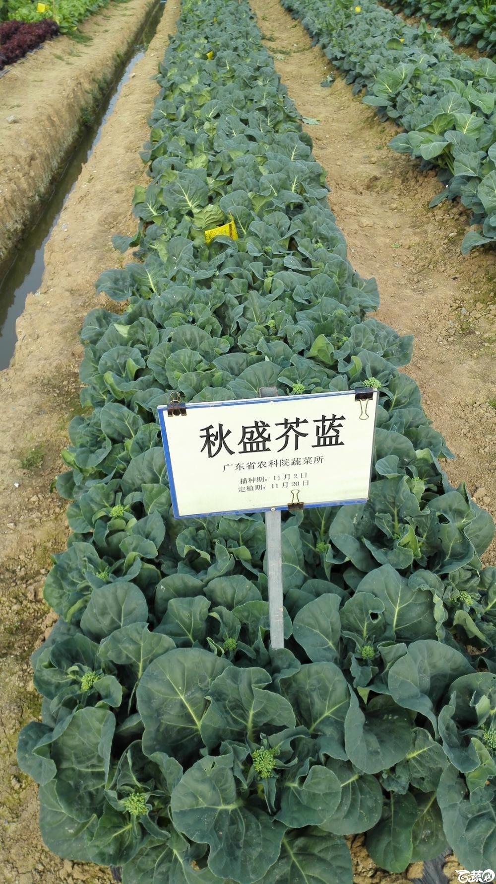 2014年12月8号中山蔬菜新品种展示会_叶菜_027.jpg