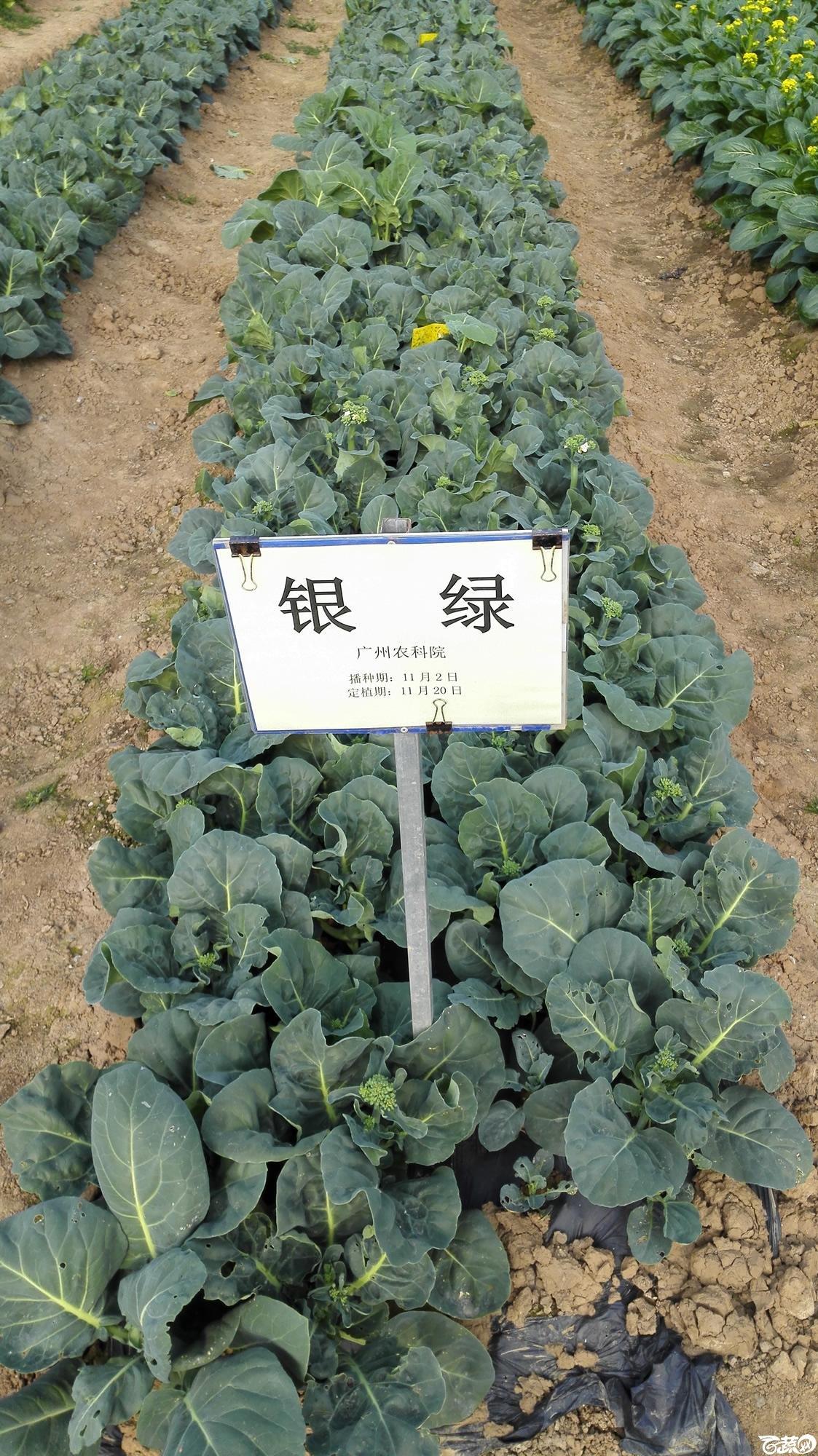 2014年12月8号中山蔬菜新品种展示会_叶菜_028.jpg