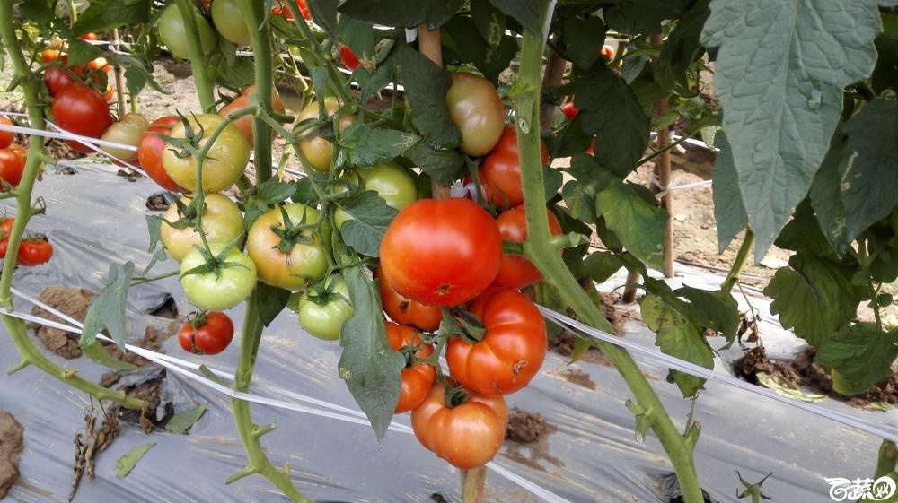 2014年12月8号中山蔬菜新品种展示会_番茄_029.jpg