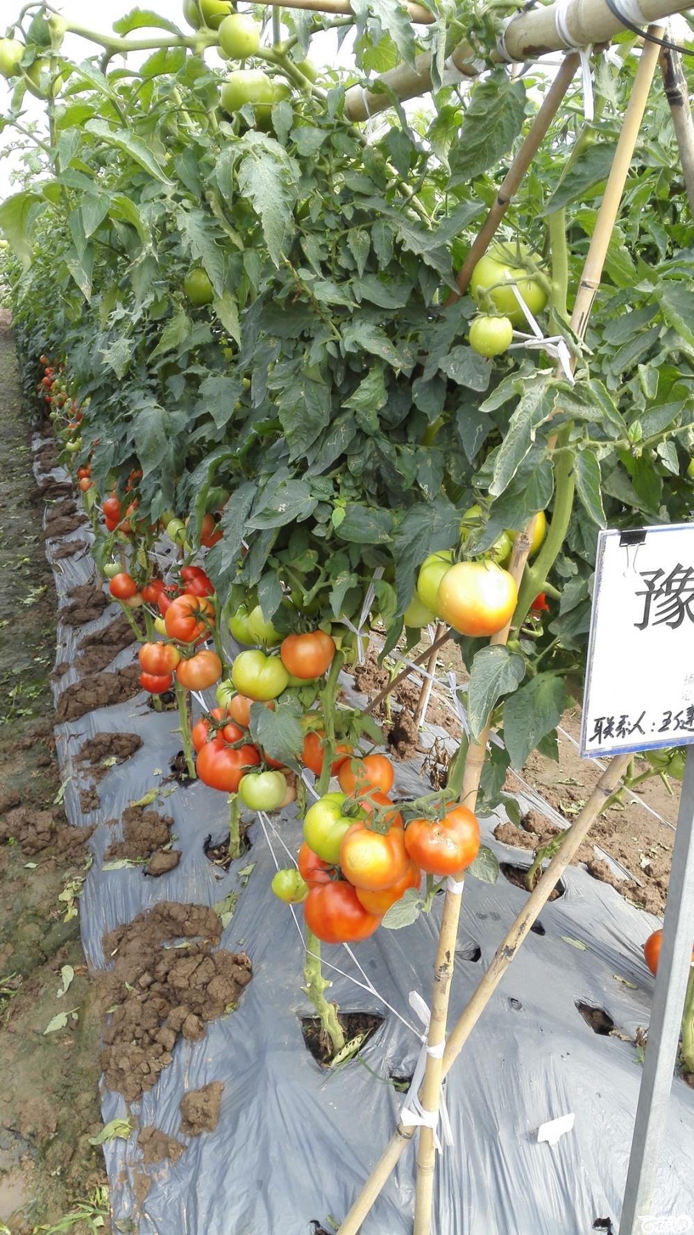 2014年12月8号中山蔬菜新品种展示会_番茄_030.jpg