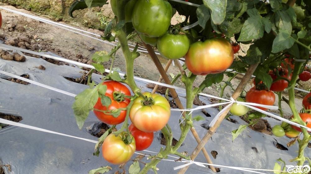 2014年12月8号中山蔬菜新品种展示会_番茄_034.jpg