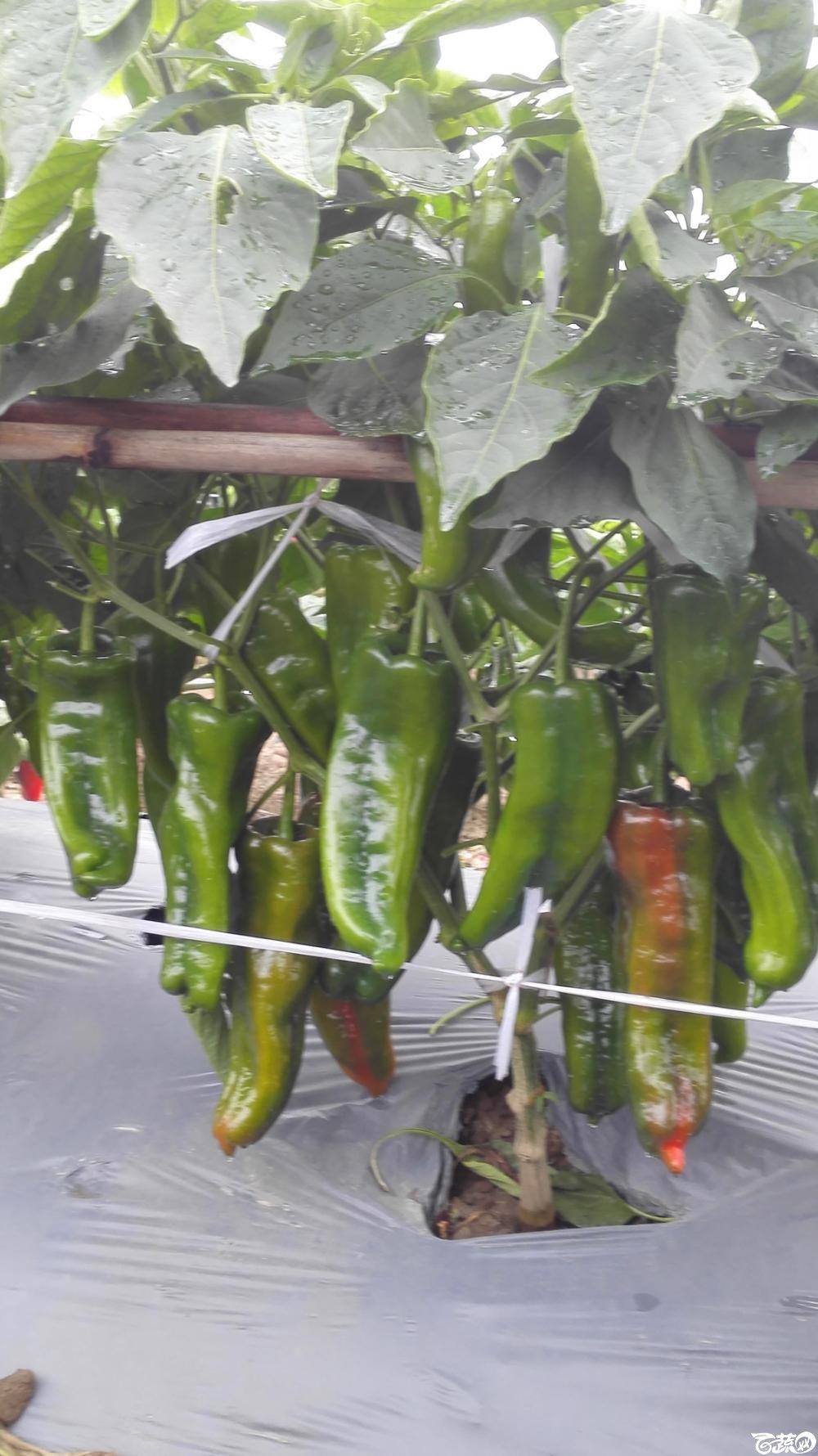 2014年12月8号中山蔬菜新品种展示会_辣椒_034.jpg