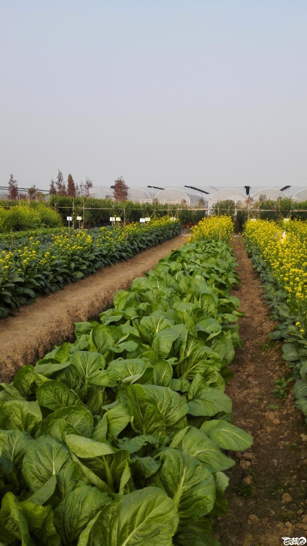 2014年12月8号中山蔬菜新品种展示会_叶菜_035.jpg