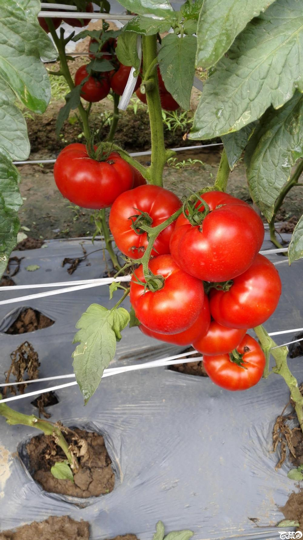 2014年12月8号中山蔬菜新品种展示会_番茄_038.jpg