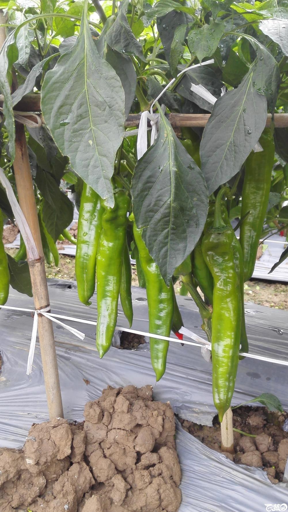 2014年12月8号中山蔬菜新品种展示会_辣椒_043.jpg