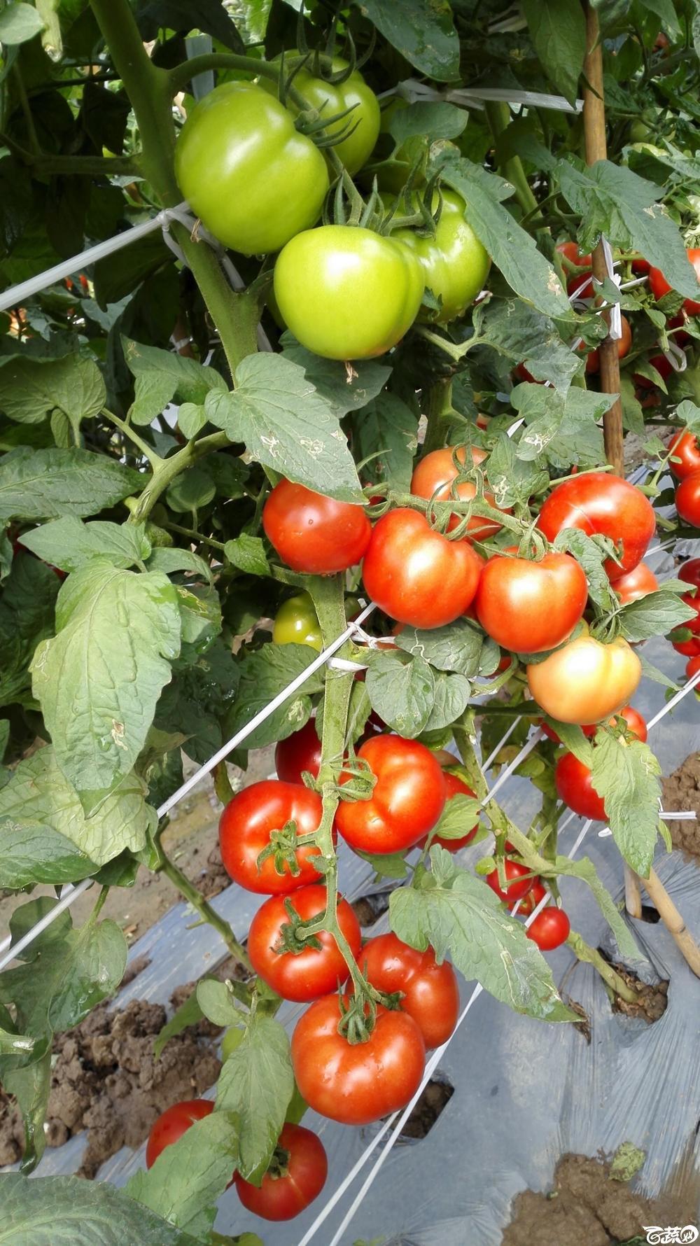 2014年12月8号中山蔬菜新品种展示会_番茄_046.jpg