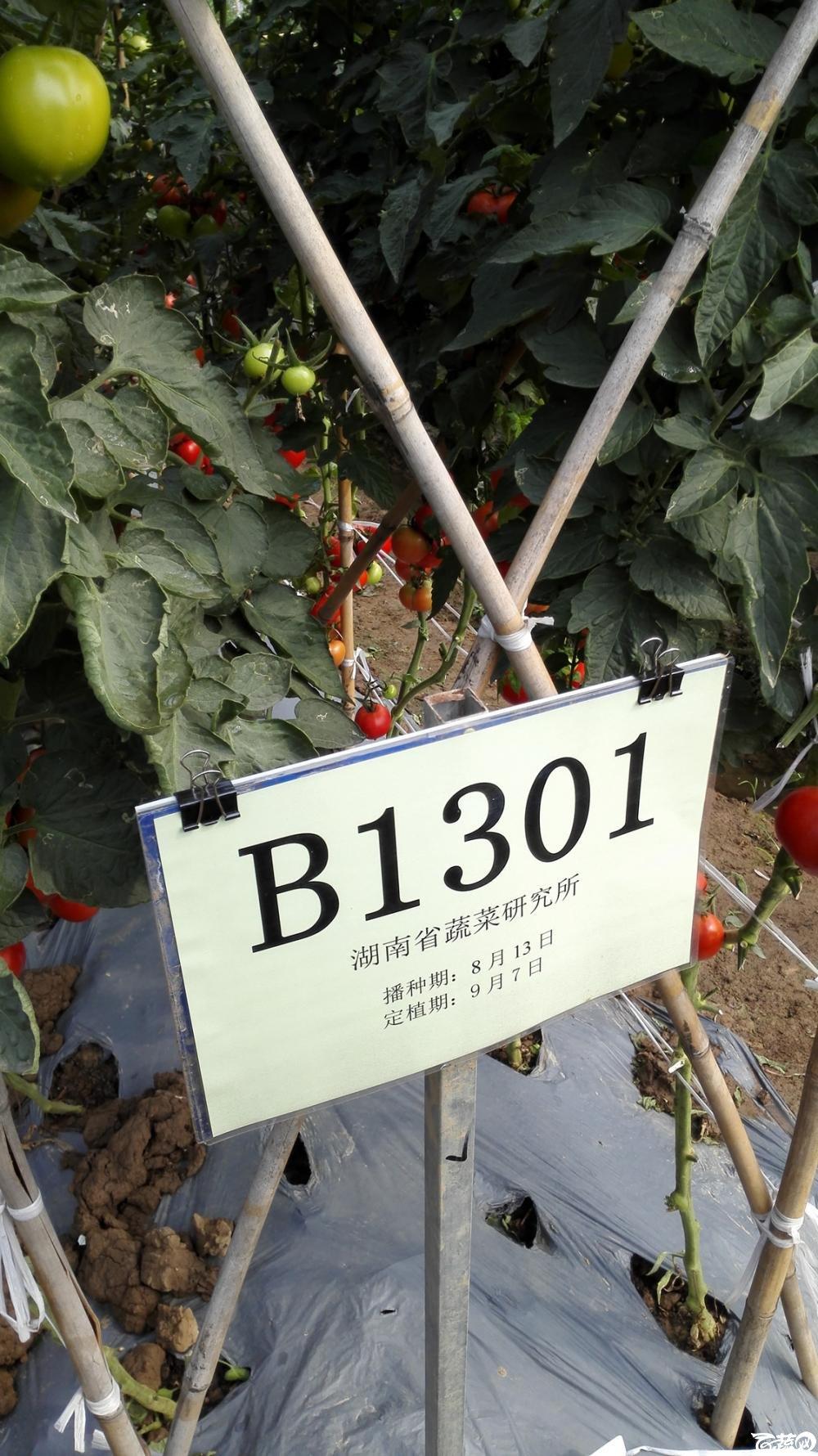 2014年12月8号中山蔬菜新品种展示会_番茄_048.jpg