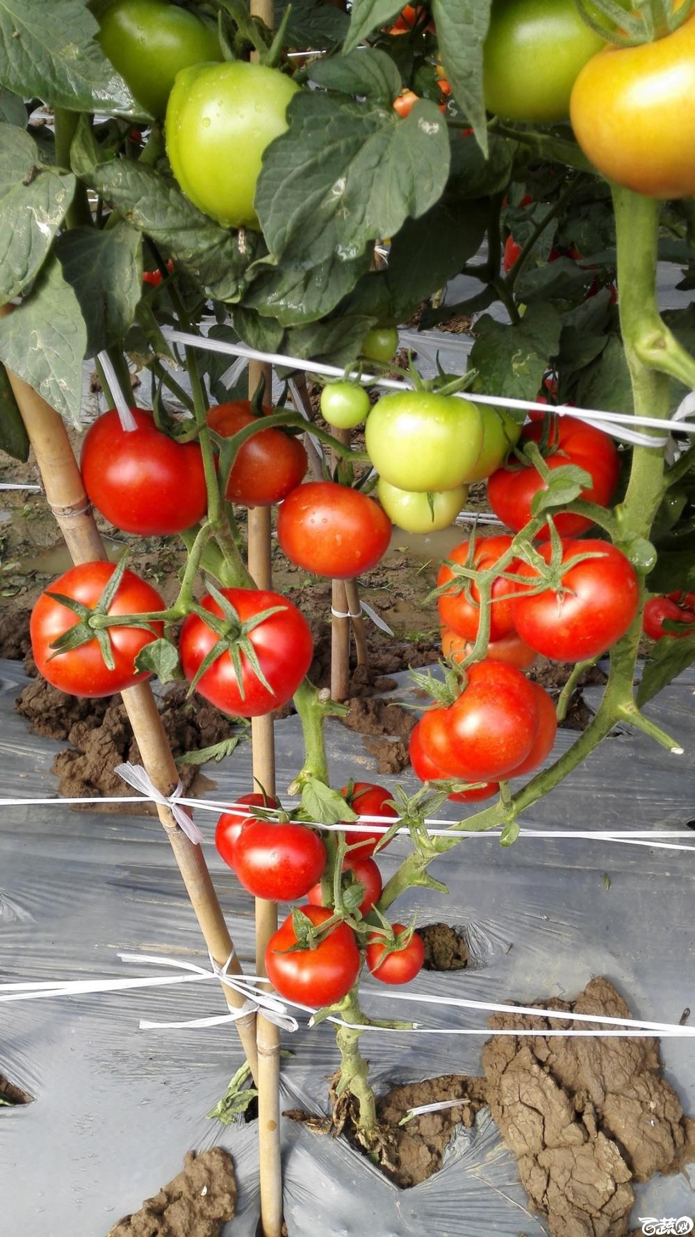 2014年12月8号中山蔬菜新品种展示会_番茄_053.jpg