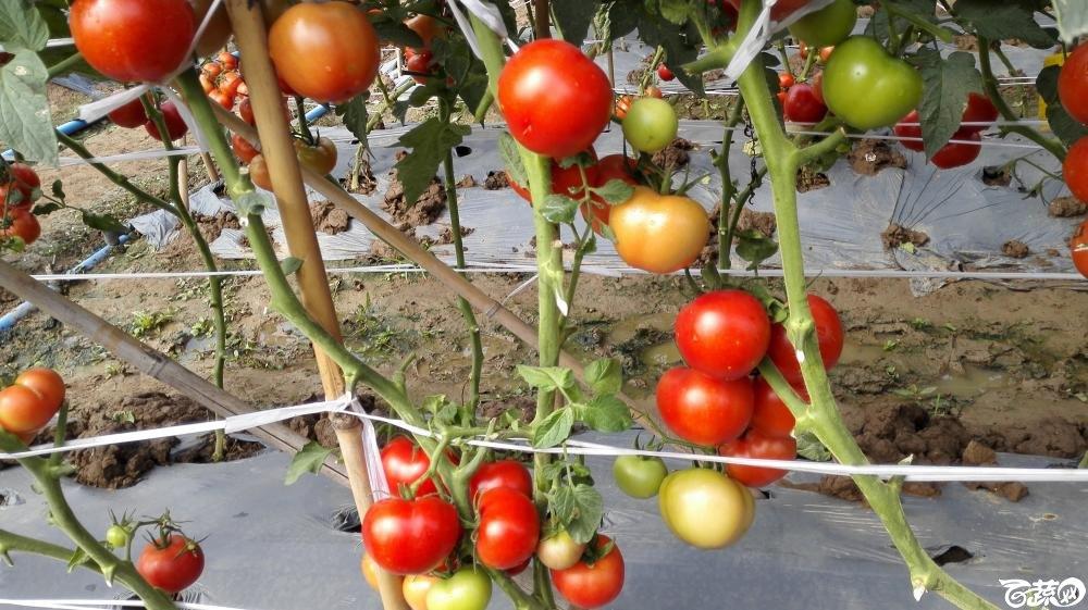 2014年12月8号中山蔬菜新品种展示会_番茄_054.jpg
