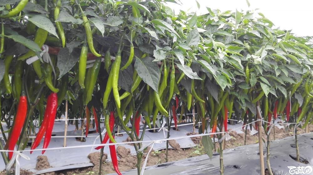 2014年12月8号中山蔬菜新品种展示会_辣椒_055.jpg