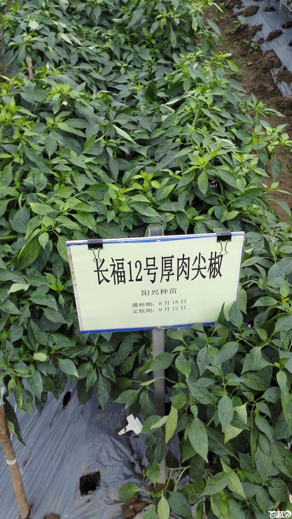 2014年12月8号中山蔬菜新品种展示会_辣椒_056.jpg