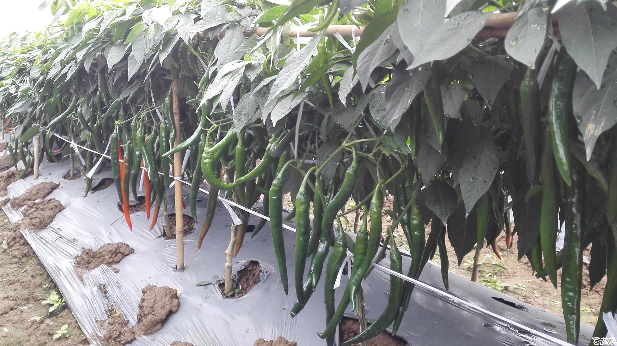 2014年12月8号中山蔬菜新品种展示会_辣椒_059.jpg