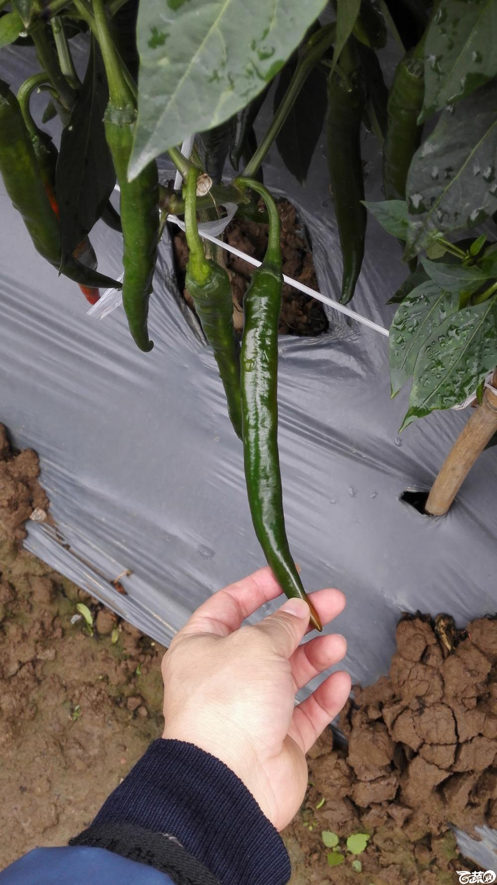 2014年12月8号中山蔬菜新品种展示会_辣椒_061.jpg
