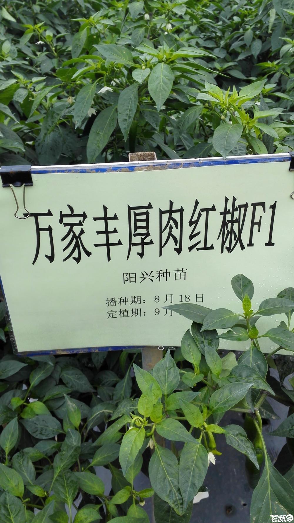 2014年12月8号中山蔬菜新品种展示会_辣椒_062.jpg