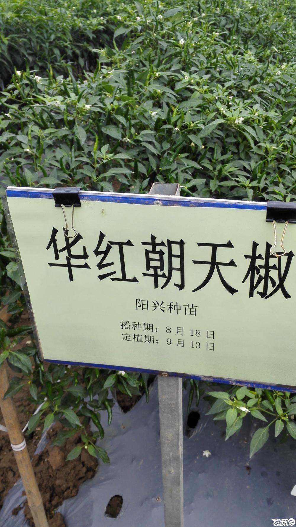 2014年12月8号中山蔬菜新品种展示会_辣椒_071.jpg
