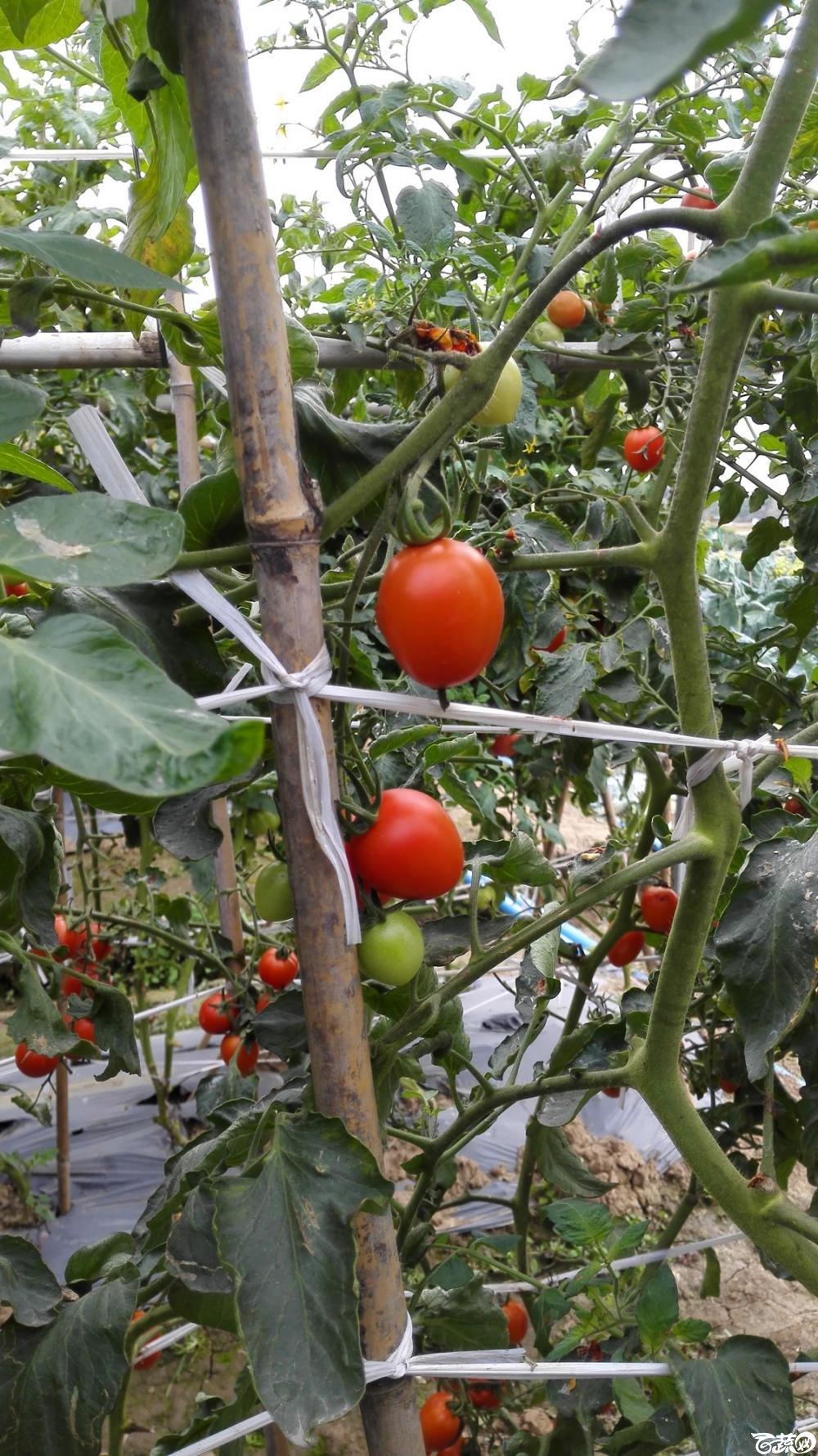 2014年12月8号中山蔬菜新品种展示会_番茄_072.jpg
