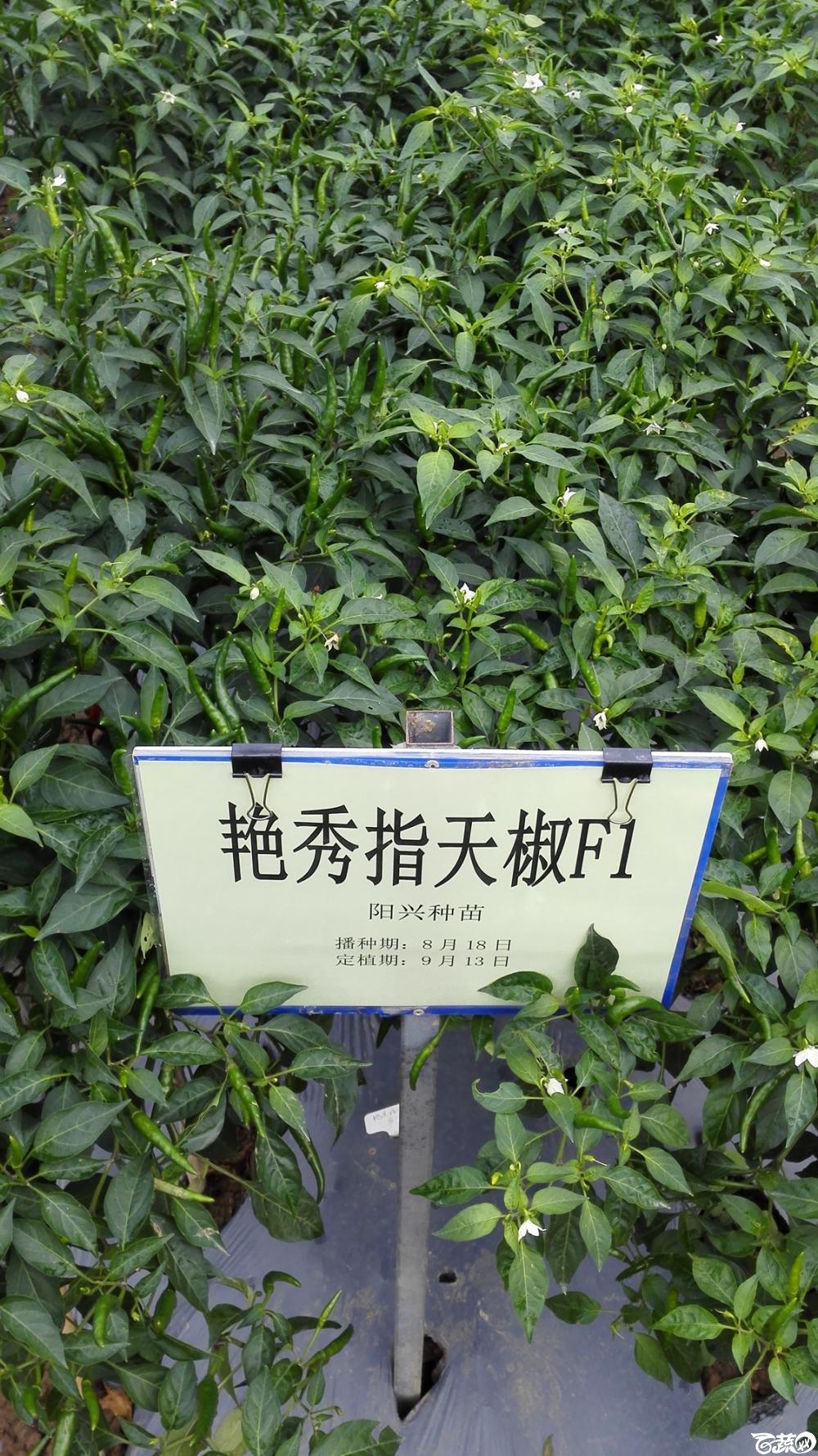 2014年12月8号中山蔬菜新品种展示会_辣椒_076.jpg