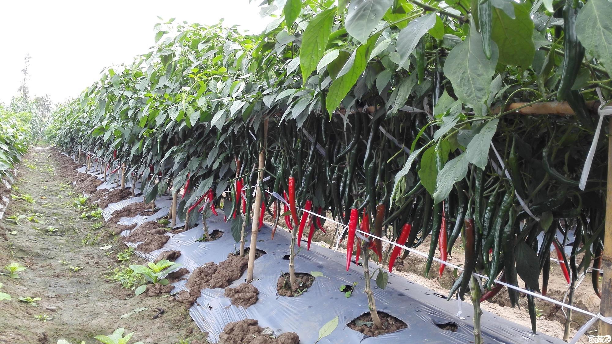 2014年12月8号中山蔬菜新品种展示会_辣椒_122.jpg