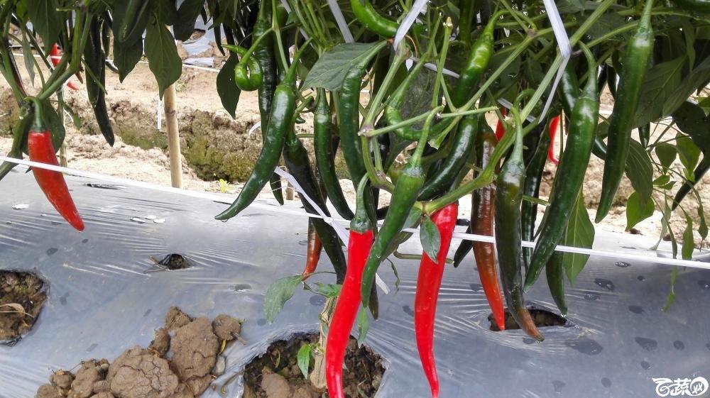 2014年12月8号中山蔬菜新品种展示会_辣椒_124.jpg