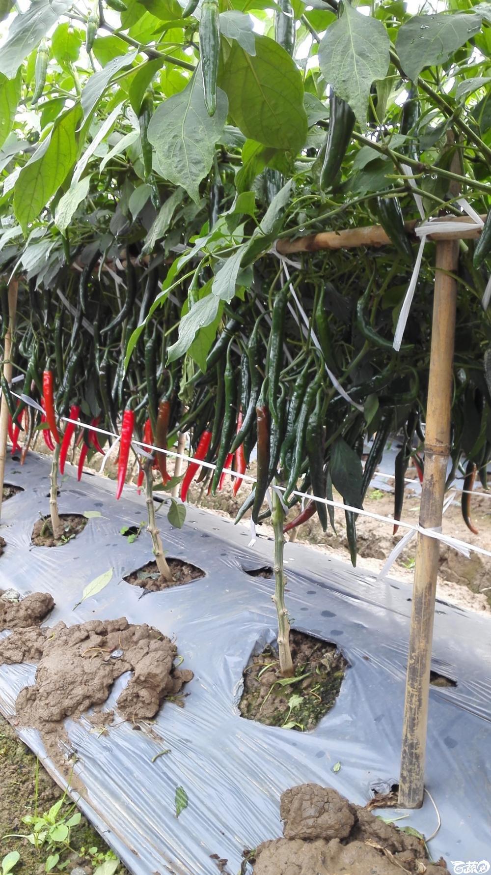 2014年12月8号中山蔬菜新品种展示会_辣椒_126.jpg