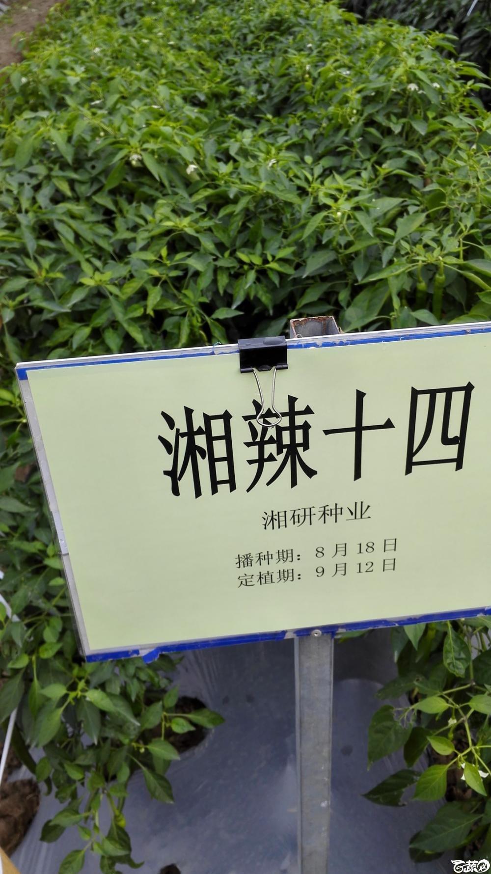 2014年12月8号中山蔬菜新品种展示会_辣椒_135.jpg