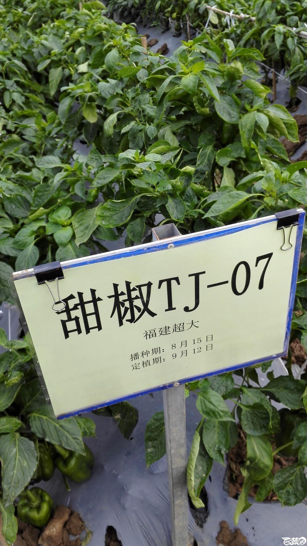 2014年12月8号中山蔬菜新品种展示会_辣椒_151.jpg