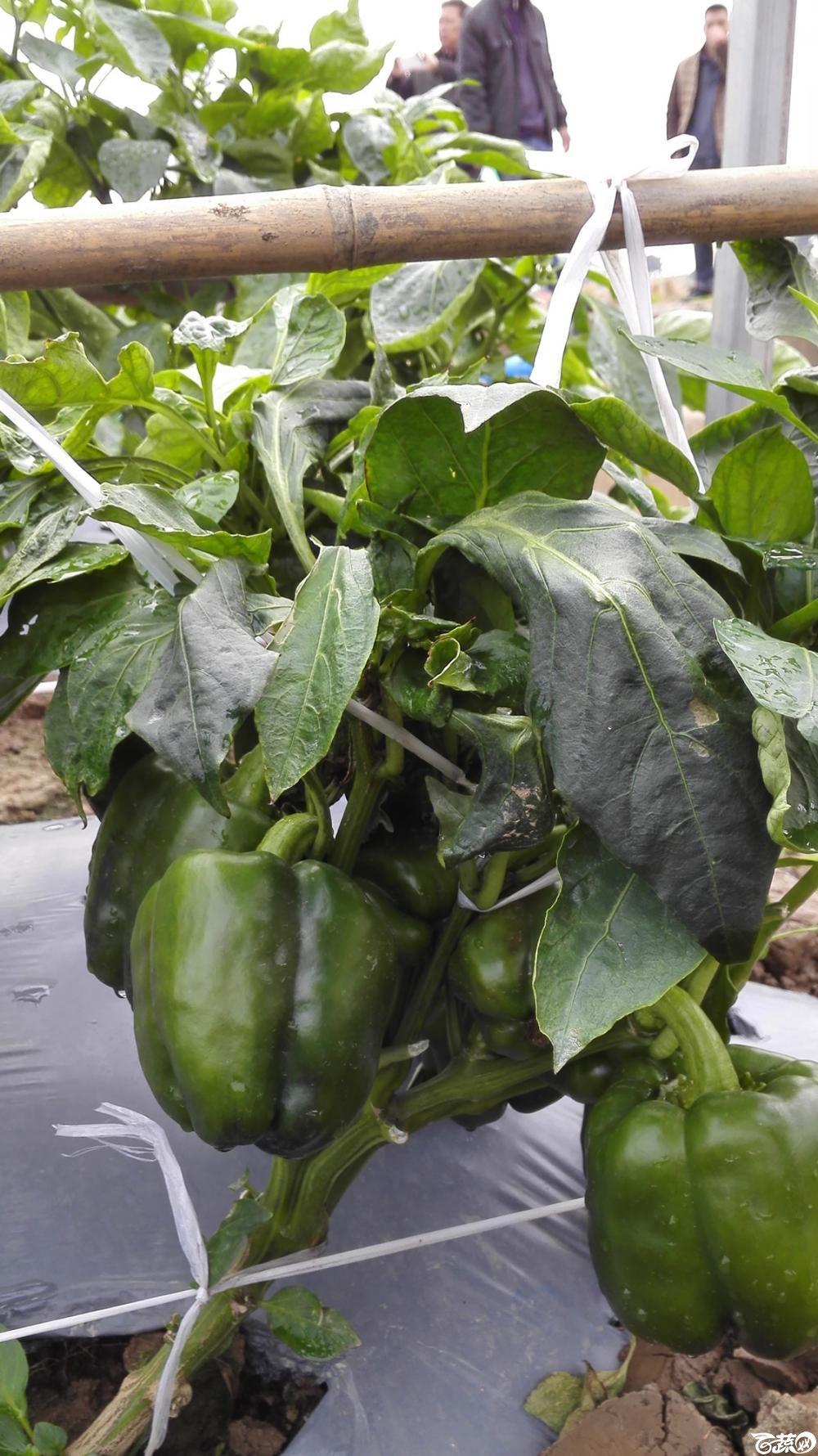 2014年12月8号中山蔬菜新品种展示会_辣椒_152.jpg