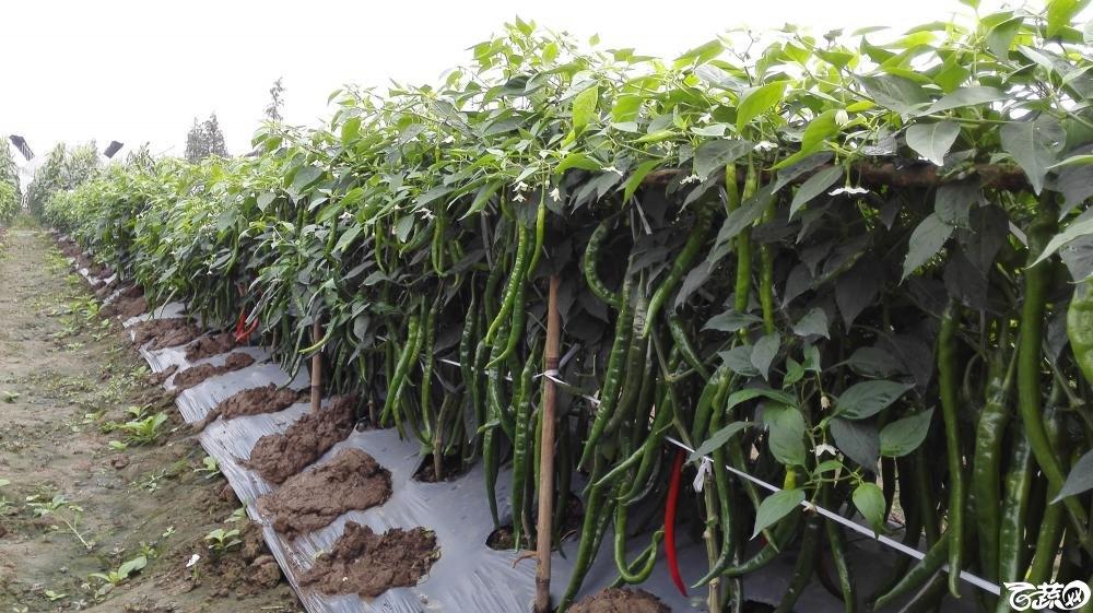 2014年12月8号中山蔬菜新品种展示会_辣椒_169.jpg
