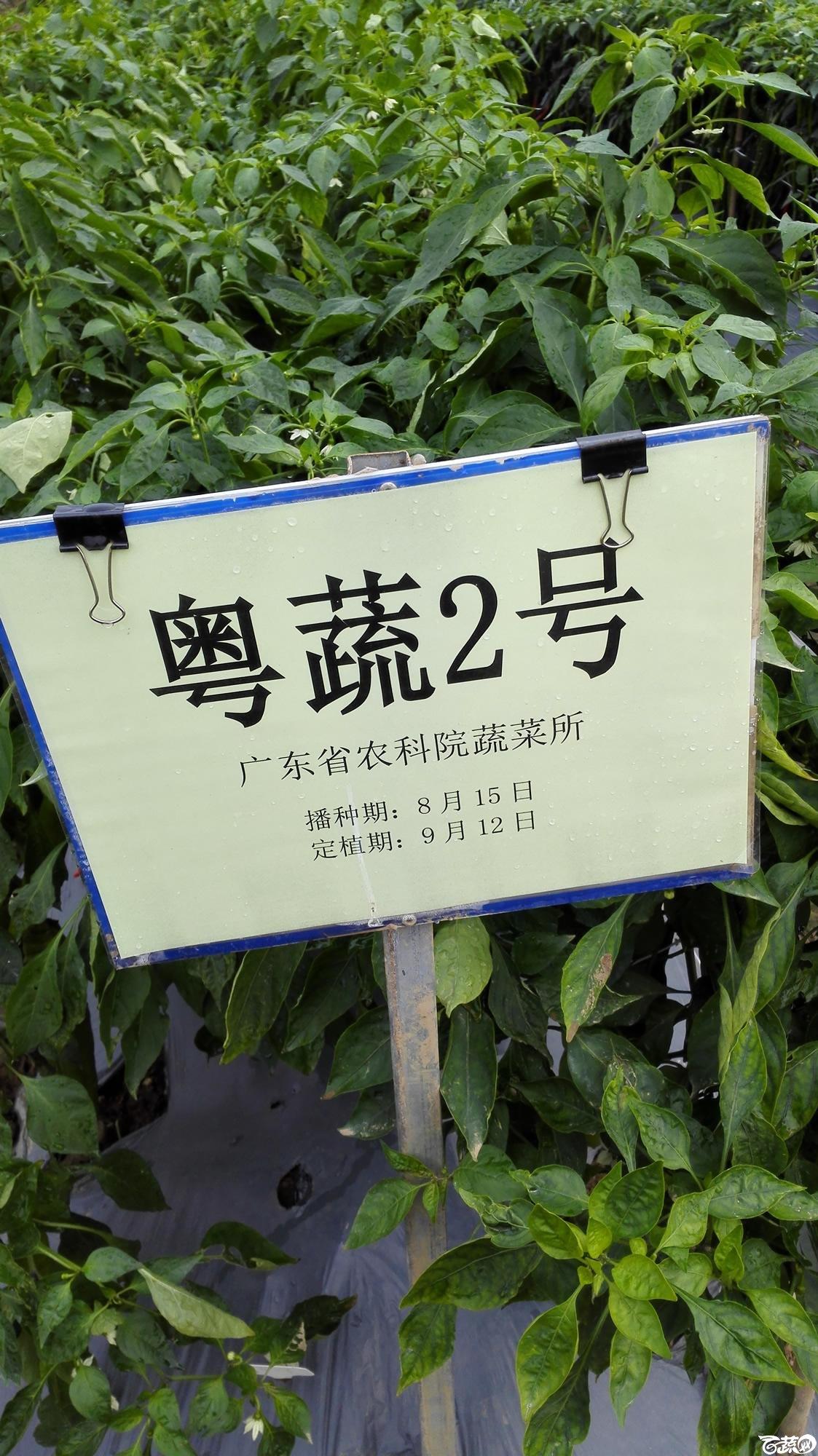 2014年12月8号中山蔬菜新品种展示会_辣椒_176.jpg